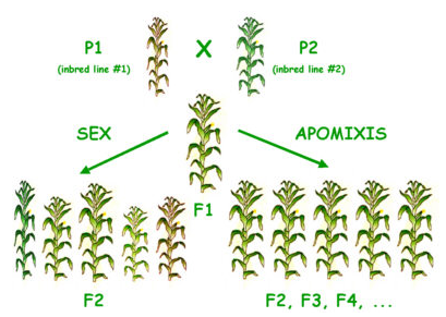 Apomixis asexual reproduction definition